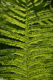 Fern in sunlight. Detail of a fern in sunlight Royalty Free Stock Photos