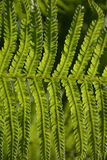 Fern in sunlight Stock Image