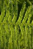 Fern in sunlight. Detail of a fern in sunlight Stock Image