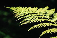 Fern in sunlight Stock Images