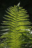 Fern in sunlight Royalty Free Stock Images
