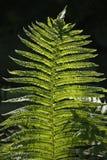 Fern in sunlight. Fresh green fern in sunlight Royalty Free Stock Images