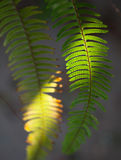 Fern in sunlight Royalty Free Stock Photography