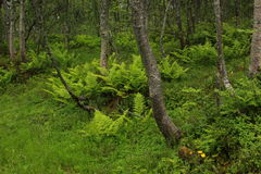 Fern-tastic. Ferns carpet the floor of the forest in Tromso, Norway royalty free stock photo