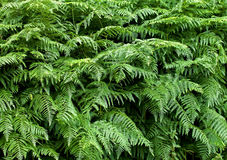Fern texture background 1 Stock Images