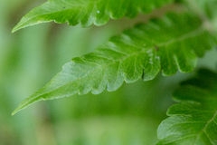 Fern texture Royalty Free Stock Photography