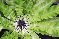 Fern Thailand. Green ferns in Thailand Stock Images