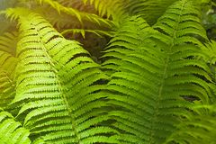 Fern thicket Stock Photo
