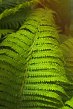 Fern thicket Stock Images