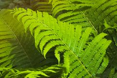 Fern thicket Royalty Free Stock Photo