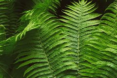 Fern thicket Royalty Free Stock Image