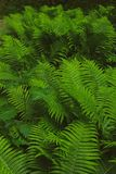 Fern thicket Royalty Free Stock Photos