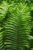 Fern thicket Stock Image