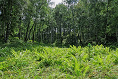 Fern-toss. In the Altai taiga royalty free stock photo