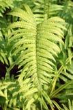 03 fern tree Royaltyfri Foto