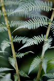 Fern Tree. A close up of a fern frond Stock Images