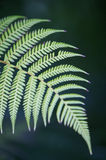 Fern Tree. A close up of a fern frond Stock Image