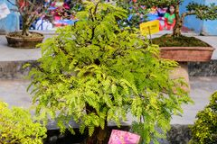 Fern Tree Bonsai für Anzeige in einem Blumentopf Eine tropische Klasse von immergrünen laubwechselnden Spezies der Feige, Strauch lizenzfreies stockfoto