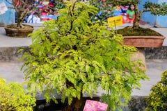 Fern Tree Bonsai para a exposição em um potenciômetro de flor Um gênero tropical da espécie decíduo sempre-verde do figo, videira foto de stock royalty free