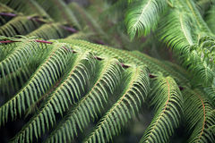 Fern tree branches Stock Images