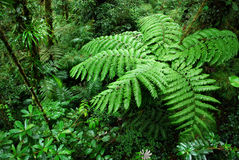 Fern tree in Cloud forest Stock Images