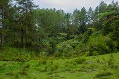 Fern tree Cyathea podophylla in forest of Samosir Island,Medan, Indonesia. Royalty Free Stock Photos