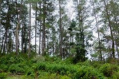 Fern tree Cyathea podophylla in forest of Samosir Island,Medan, Indonesia. Stock Photo