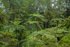 Fern tree Cyathea podophylla in forest of Samosir Island,Medan, Indonesia. Stock Image