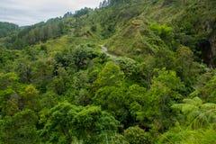 Fern tree Cyathea podophylla in forest of Samosir Island,Medan, Indonesia. Stock Photography