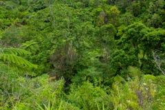 Fern tree Cyathea podophylla in forest of Samosir Island,Medan, Indonesia. Royalty Free Stock Images