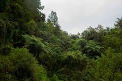 Fern tree Cyathea podophylla in forest of Samosir Island,Medan, Indonesia. Stock Photos
