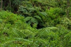Fern tree Cyathea podophylla in forest of Samosir Island,Medan, Indonesia. Royalty Free Stock Image