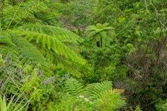Fern tree Cyathea podophylla in forest of Samosir Island,Medan, Indonesia. Stock Images