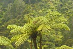 Fern Tree djungel, Nya Zeeland Arkivbilder