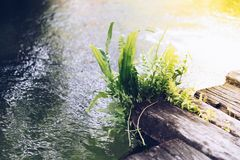 Fern growth on wood with water in a garden. Fern or tree fern is a small green plant growth on wood with pond water in a wet environment garden, green and nature royalty free stock images
