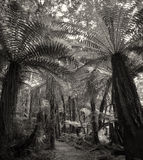 Fern tree forest - BW Stock Images