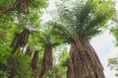 Fern tree in the tropical jungle rain forest royalty free stock photography
