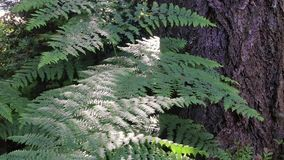 Fern and tree trunks in washington state forest. Forest undergrowth fern and tree trunks stock video footage