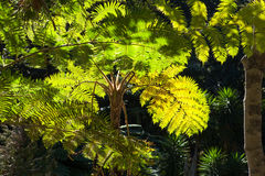 Fern Trees, Funchal, Madeira. Royalty Free Stock Image