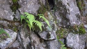 Fern trees. At the garden stock footage