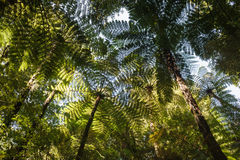 Fern trees growing in rainforest Stock Images
