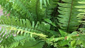 Fern trees and leaves. In Penang hill, Malaysia. A fern is a member of a group of approximately 12,000 species of vascular plants that reproduce via spores and stock footage