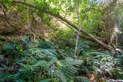 Fern - Tsitsikamma National Park - Storms River - South Africa.  Royalty Free Stock Photography