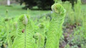 Fern twig bug move stock video footage