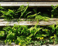 Fern under deck. Ferns growing under the deck Royalty Free Stock Images