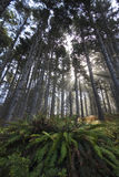 Fern under tall trees misty Stock Photography