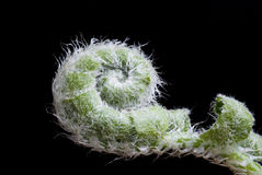 Fern Unrolling. Extreme closeup of a fern unrolling against a black background Royalty Free Stock Photography