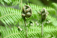 A fern unrolling a young frond Royalty Free Stock Photo