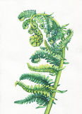 A fern unrolling a young frond. Polypodiopsida. Hand drawn watercolor painting. Background- watercolor paper Royalty Free Stock Image