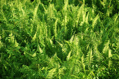 Fern vegetable fields Royalty Free Stock Photo